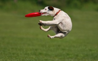 Dog-with-frisbee
